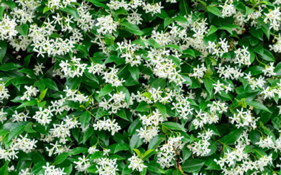 GET YOUR HEAD IN THE STARS WITH THE STAR JASMINE