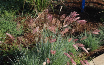 GORGEOUS GRASSES FOR EVERY GARDEN