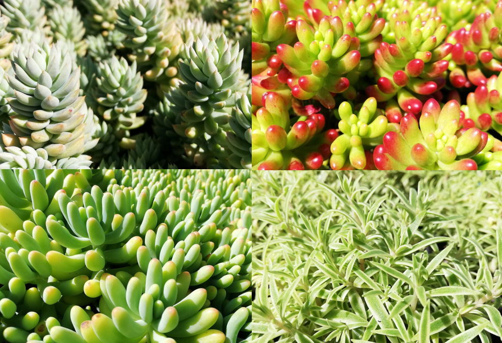 WELCOME TO THE FASCINATING WORLD OF STONECROP PLANTS