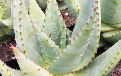 THE HEALING PROPERTIES OF SUCCULENTS