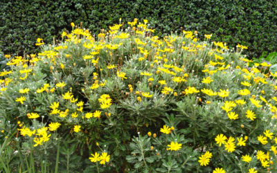 EURYOPS: THE YELLOW IN MY RAINBOW