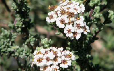 Eriocephalus africanus – The Cape Snow Bush