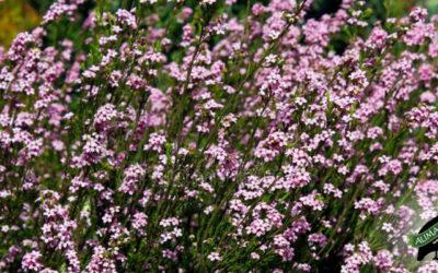 Coleonema album – The Cape's Confetti Bush