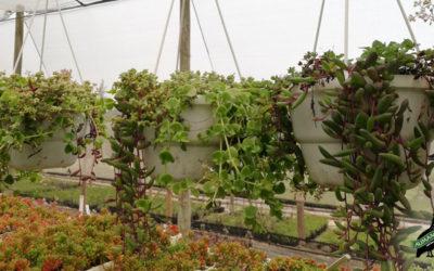 Wonderful World of String Succulents